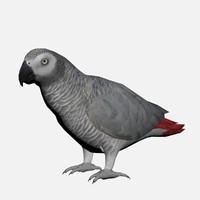 3d african grey parrot model