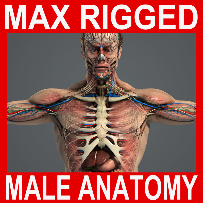 Complete-Male-Anatomy-MAX-Rigged.jpg