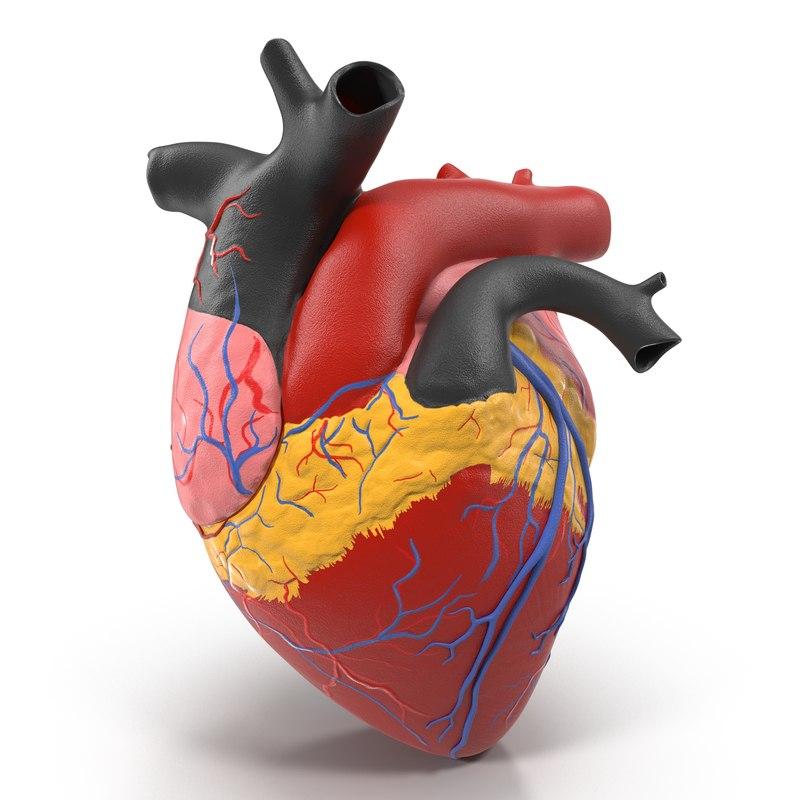 Anatomy Heart Medical Plastic Model 3d model 02.jpg