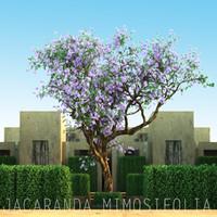 JACARANDA MIMOSIFOLIA 2