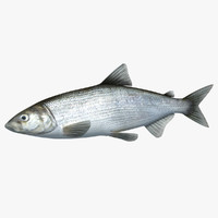 3d model whitefish animation