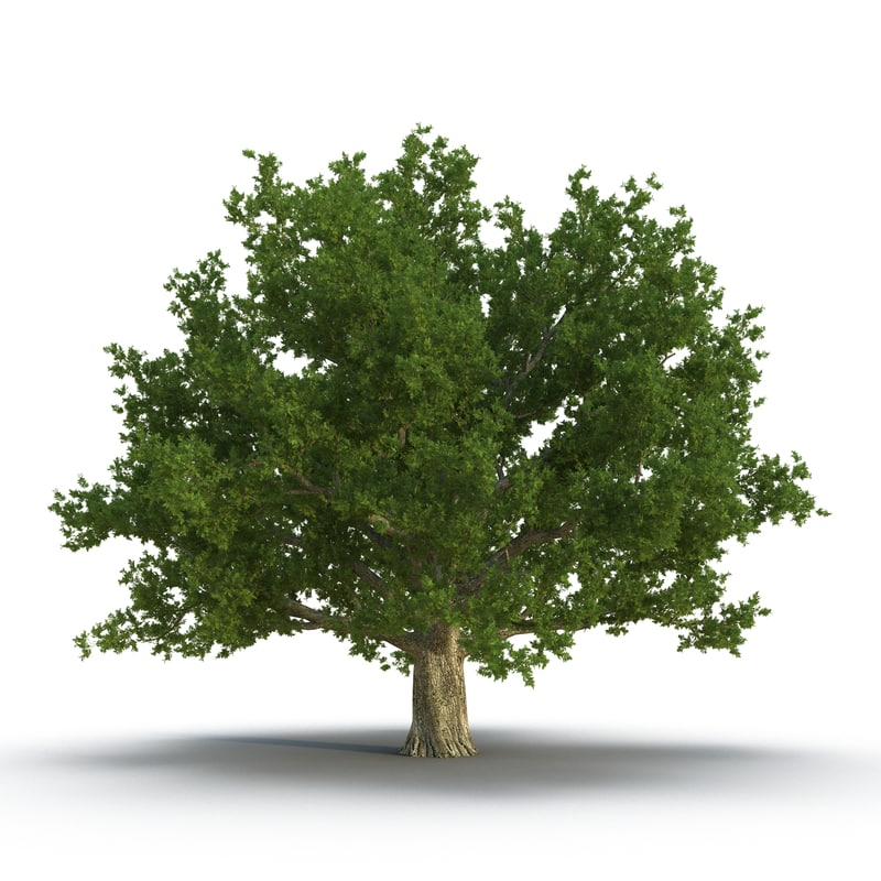 Red Oak Old Tree Summer 3d model 02.jpg