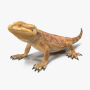 Central Bearded Dragon 3D models
