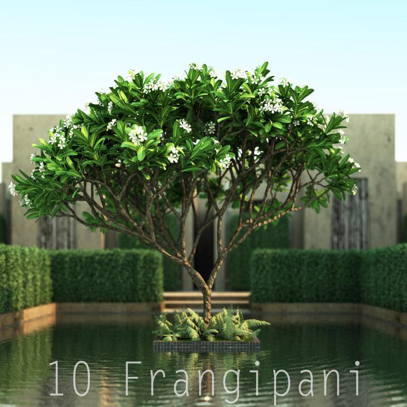 Frangipani_01.jpg