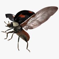 harmonia axyridis spectabilis asian 3d obj