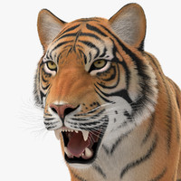 3d tiger animation fur model