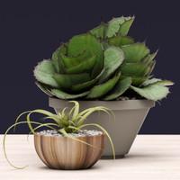 Succulent Agave
