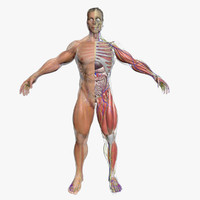 ultimate complete male anatomy 3d model