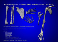 obj resolution arm shoulder hand bones