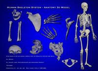 human skeleton anatomy skeletal 3d obj