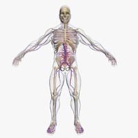 3d model of circulatory skeleton