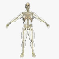 3d max central nervous skeleton