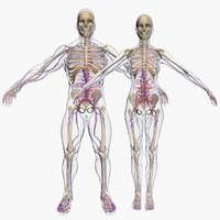 circulatory combo body skeleton 3d model