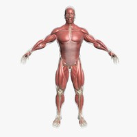 male muscle anatomy 3d model