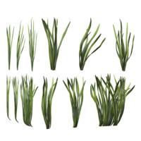Corkscrew Vallisneria (seaweed!)