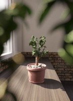 Crassula tree