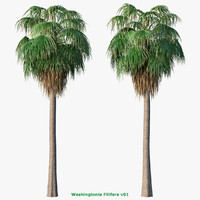 Washingtonia Filifera palm