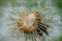 Dandelion(Taraxacum officinale)
