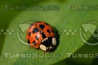 Ladybird(Coccinella septempunctata)