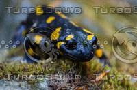 Salamandra(Salamandra salamandra)