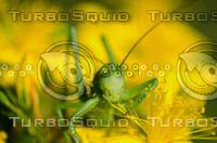 Grasshopper(Tettigonia viridissima)