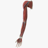 3d human muscles arm limb model