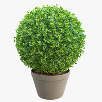 Spherical Boxwood Bush