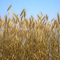 3d durum wheat
