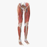 3d model human legs anatomy muscles