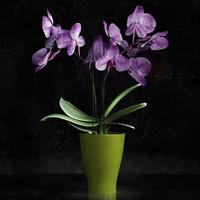 max mini orchids