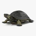 Western Pond Turtle 3D models