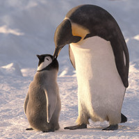 group emperor penguins 3d max