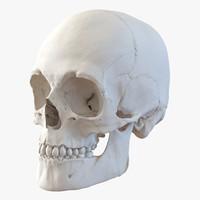 3d male human skull model