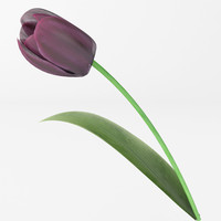 realistic dark tulip 3d model
