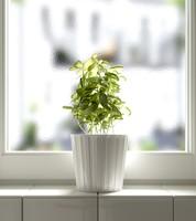 3d basil herb model