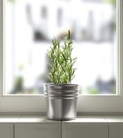 rosemary herb 3d obj