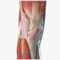 3d model human knee