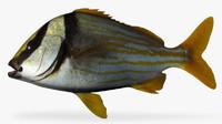 3d model porkfish fish