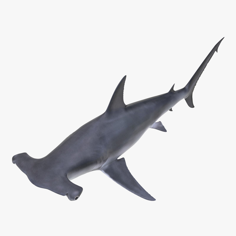 Great Hammerhead Shark 3d model 01.jpg