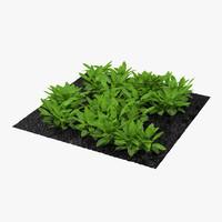 sorrel plants garden max