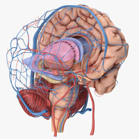 3d model human anatomy brain circulation