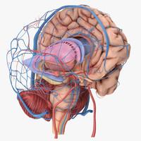 brain circulation max