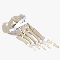3d skeleton feet ligament