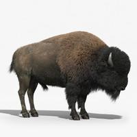 max american bison fur