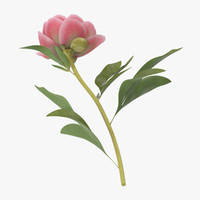 3d single laying peony - model