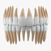 teeth anatomy 3d dxf