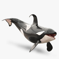 Killer Whale Adult Rigged