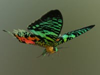 3d madagascan sunset moth