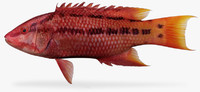 Mexican-Hogfish