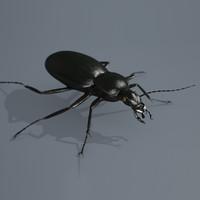 beetle carabus coriaceus c4d